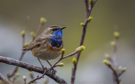 Bluethroat in spring © Iordan Hristov