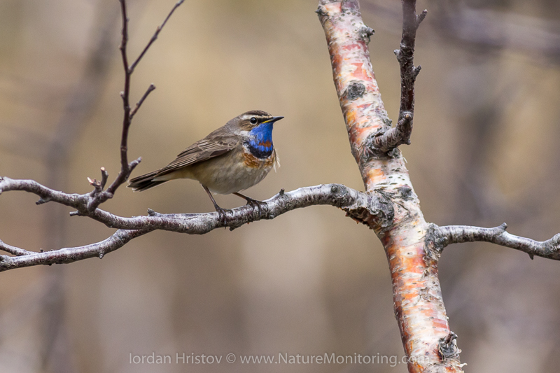 Bluethroat photography © Iordan Hristov
