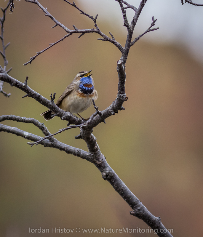 Bluethroat singing  © Iordan Hristov