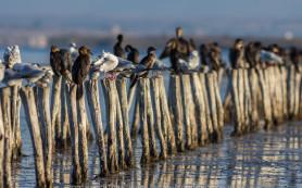 Pygmy Cormorant © Iordan Hristov