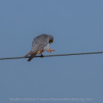 september birding trip: day 2 - Red-footed Falcon