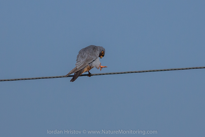 Red-footed Falcon © Iordan Hristov