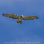 September birding trip: day 1 - Short-toed Eagle