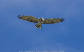 Short-toed Eagle © Iordan Hristov