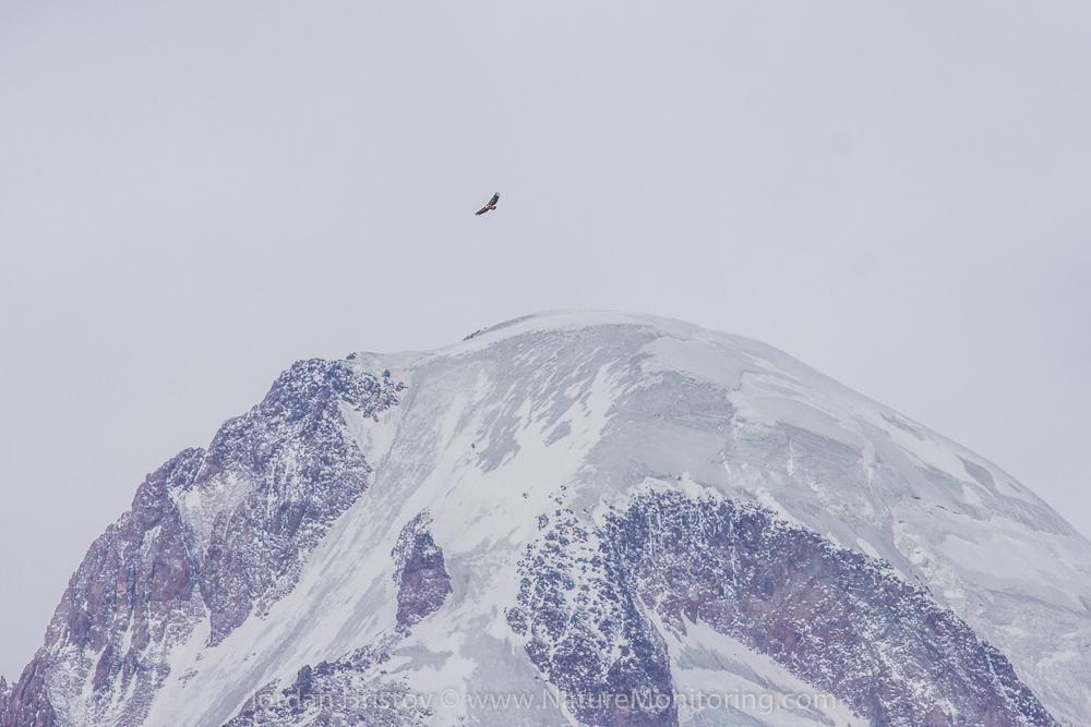 Griffon Vulture over Kazbegi mountains