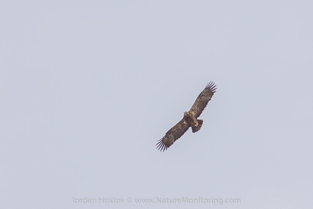 Steppe Eagle ad.