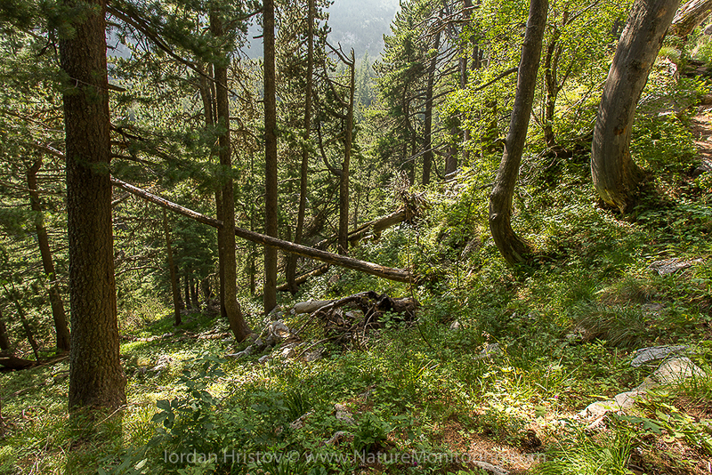 old growth forest in Pirin mountains © Iordan Hristov