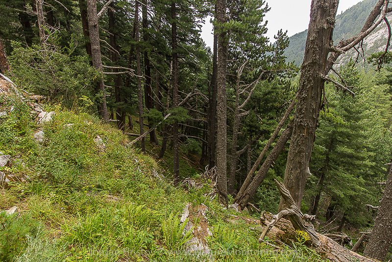 old growth conifer forest © Iordan Hristov