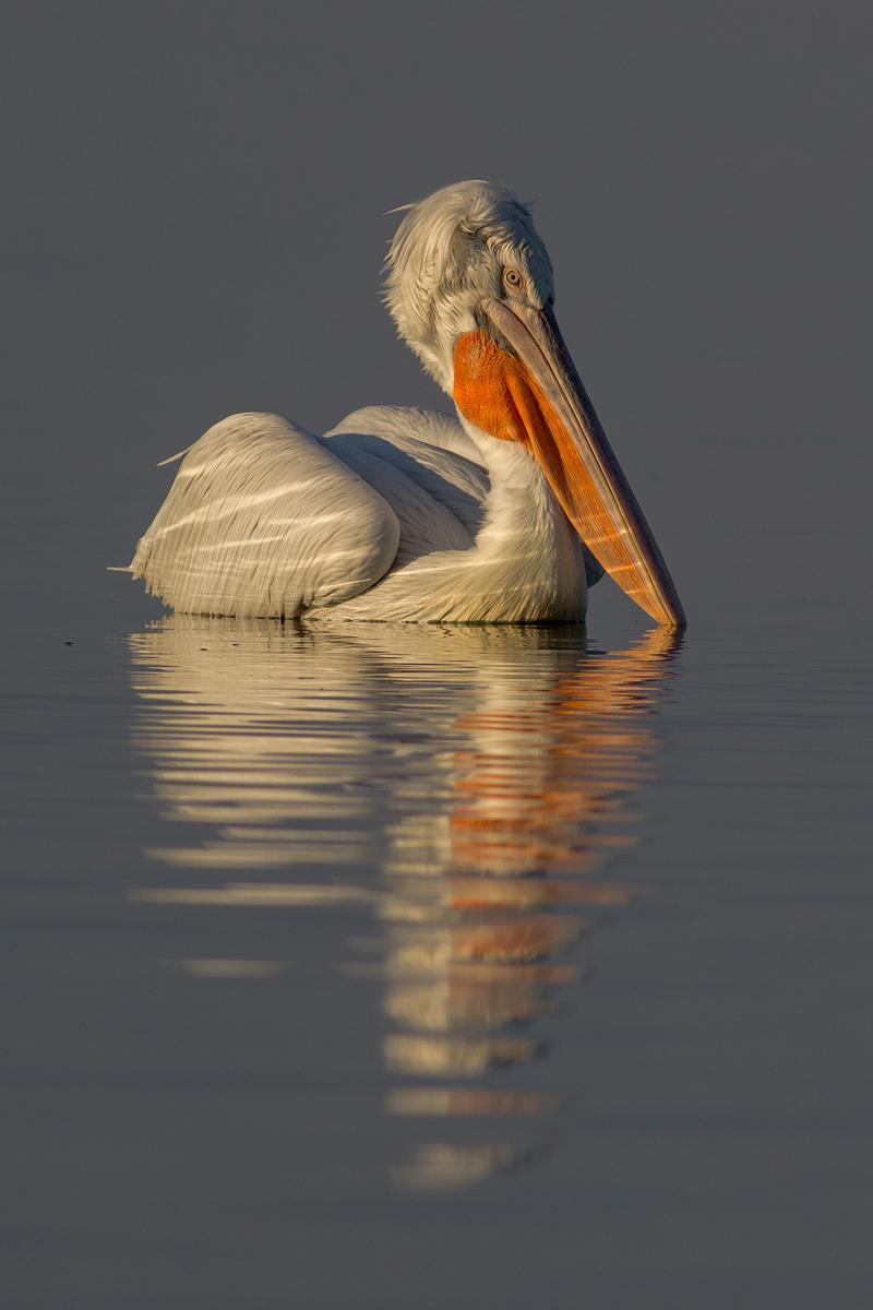 Dalmatian Pelican © Iordan Hristov