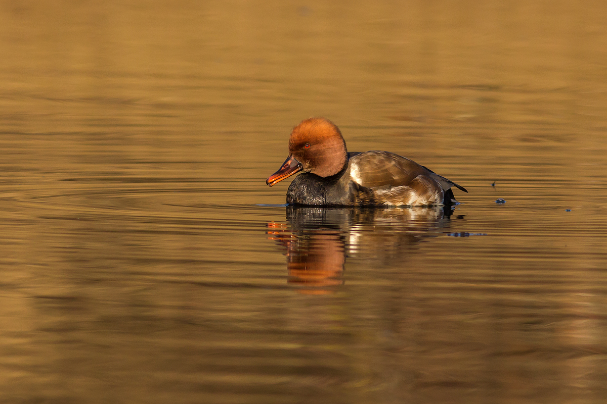 winter birding and photography at lake Kerkini