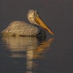 Birding and photography at lake Kerkini