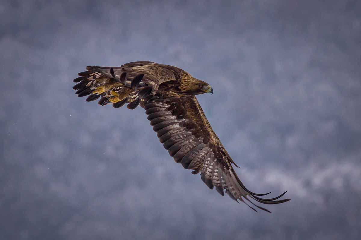 Golden Eagle hide photography