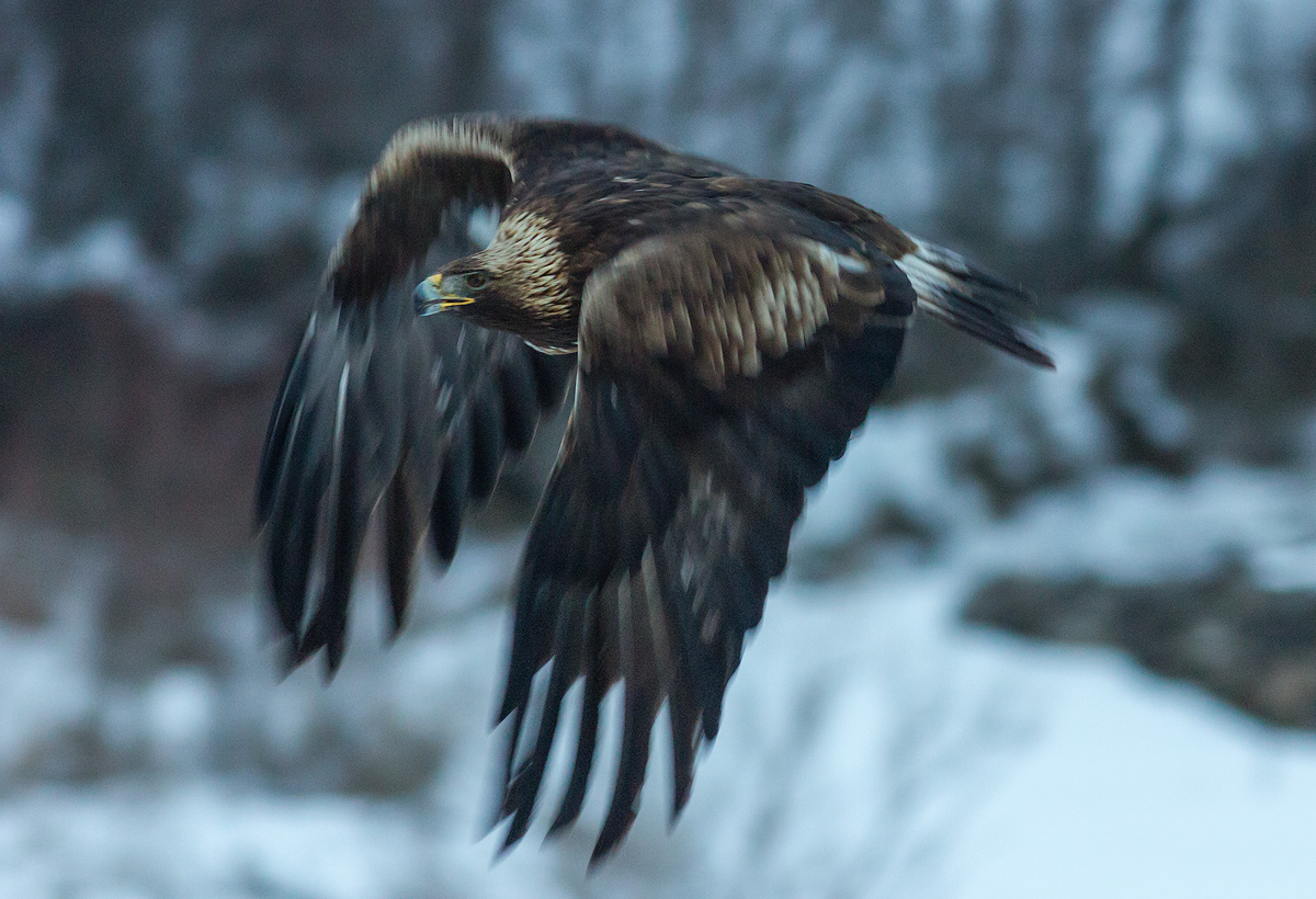 Golden Eagle in slow motion © Iordan Hristov