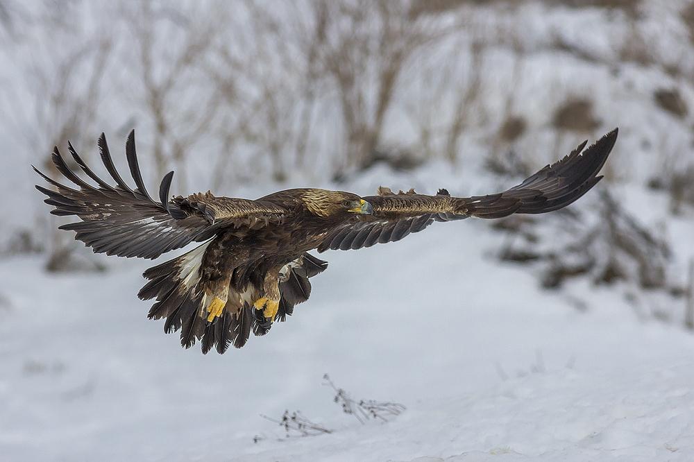 Golden Eagle landing © Iordan Hristov