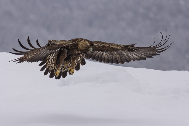 Golden Eagle hide photography © Iordan Hristov
