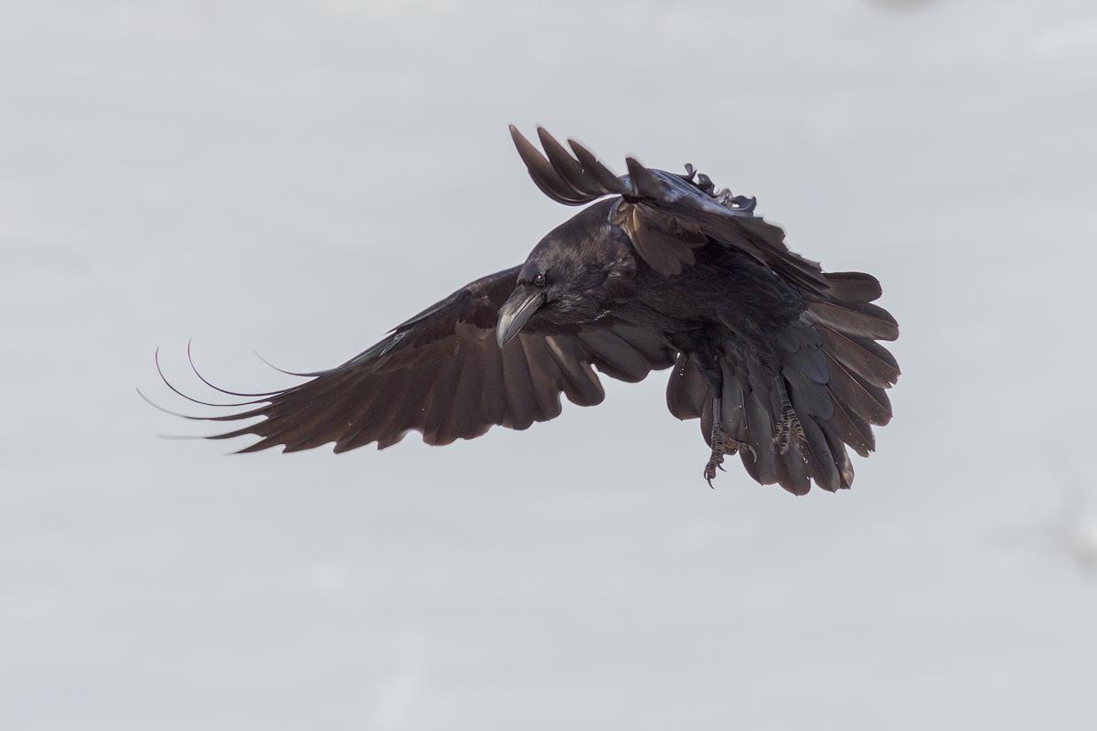 Raven in flight © Iordan Hristov