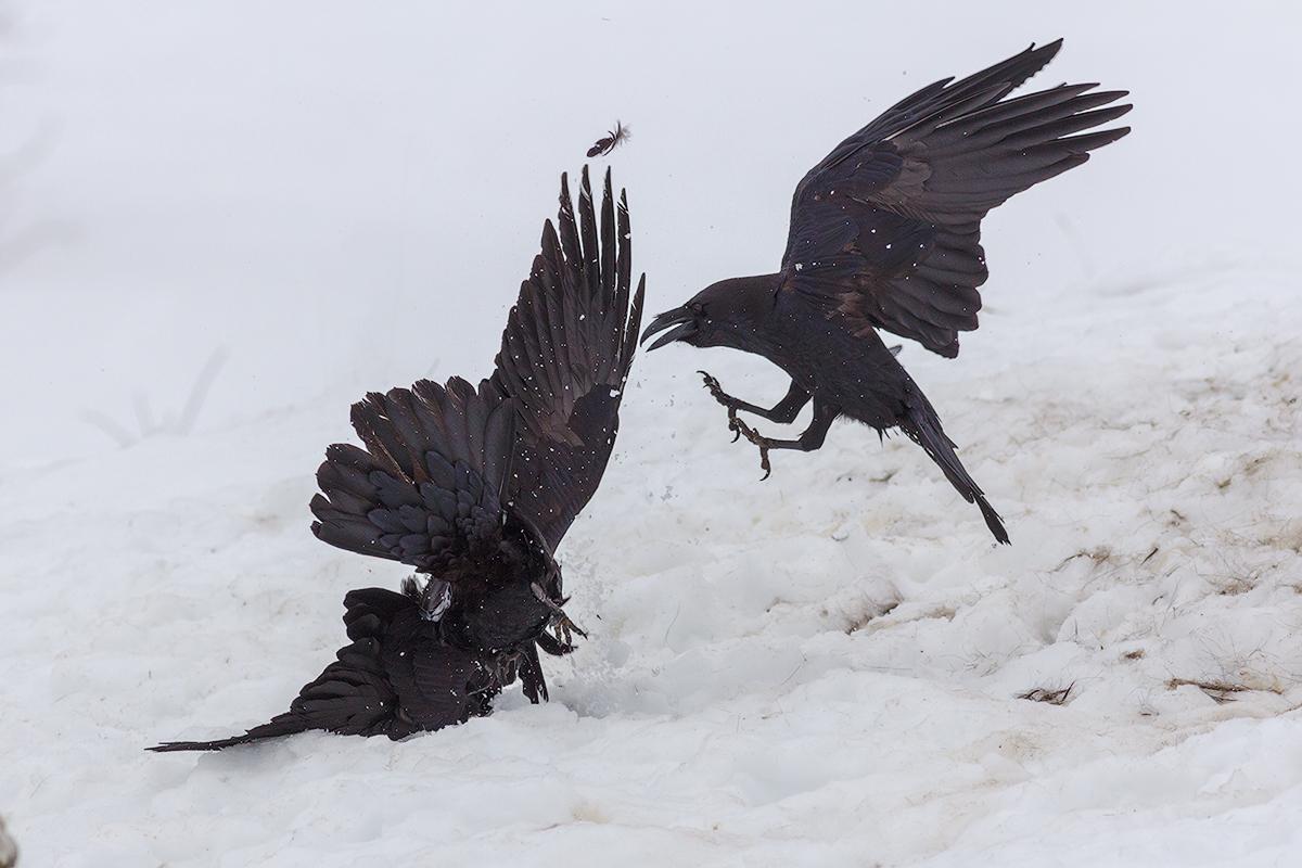 Raven's dance © Iordan Hristov