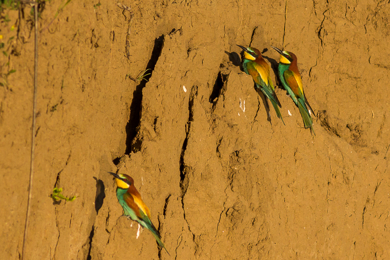 Bee-eater photograaphy