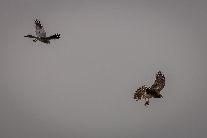 Montagu's Harrier © Iordan Hristov