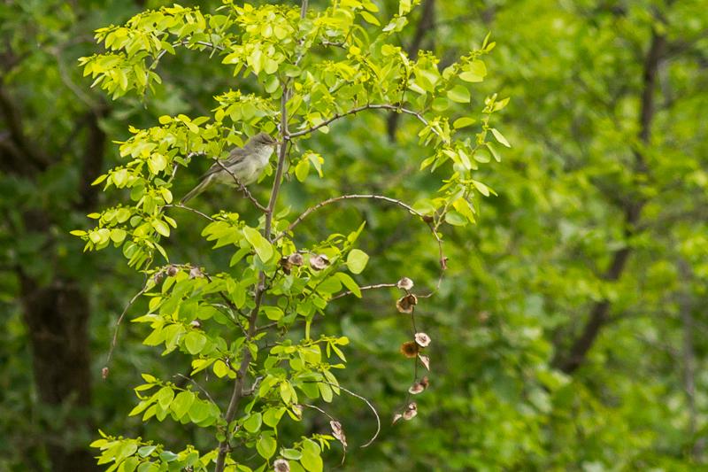 Olive-tree warbler © Iordan Hristov