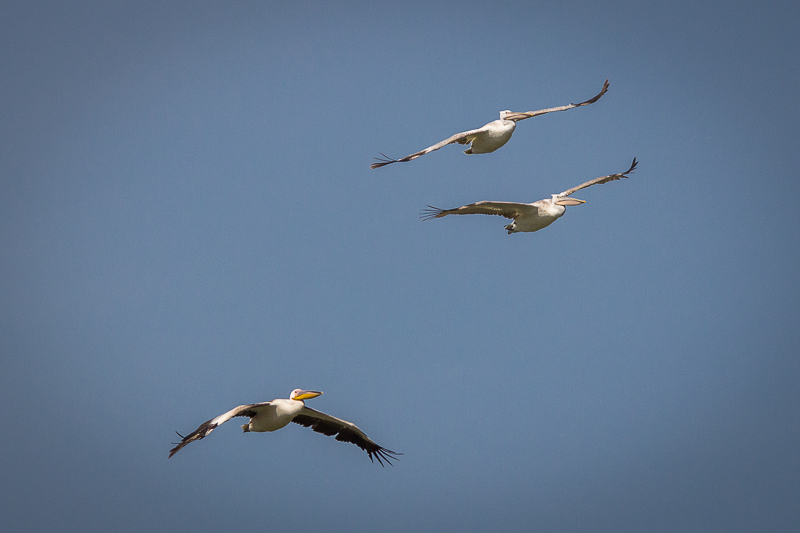 White and Dalmatian Pelicans in Bulgaria