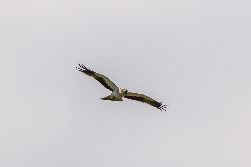 Booted Eagle © Iordan Hristov