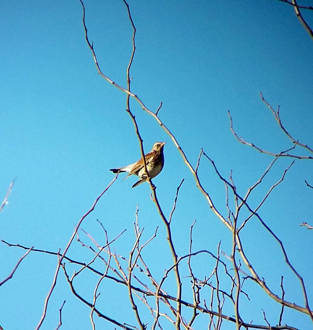 Хвойнов дрозд сниман през зрителна тръба