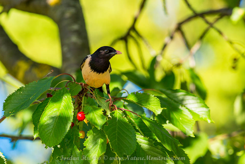 Rose-coloured Starling photography