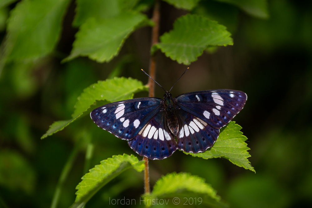 butterfly photography in Bulgaria