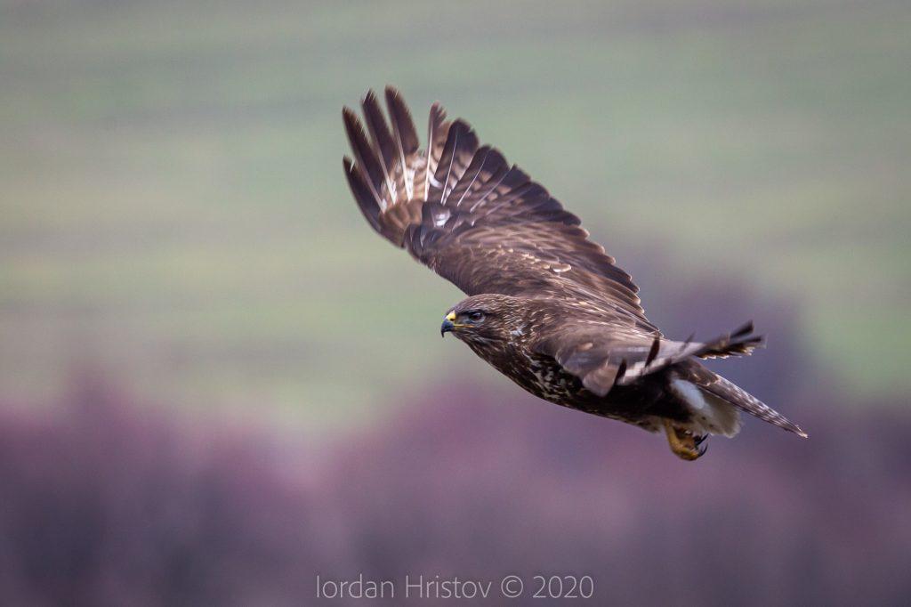 buzzard photography