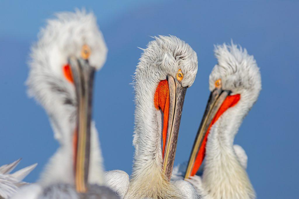 Dalmatian pelican photography