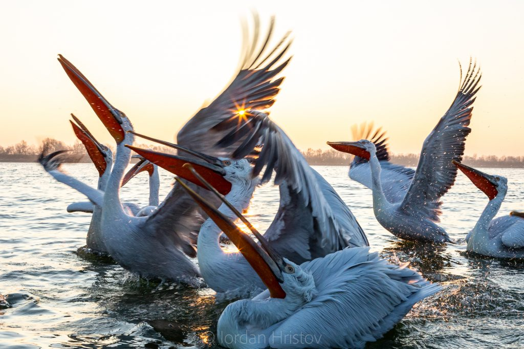 interaction of dalmatian pelicans
