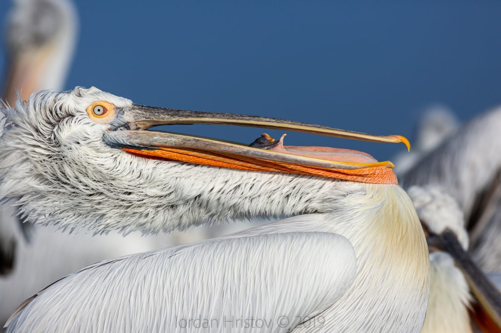 guide for dalmatian pelican photography