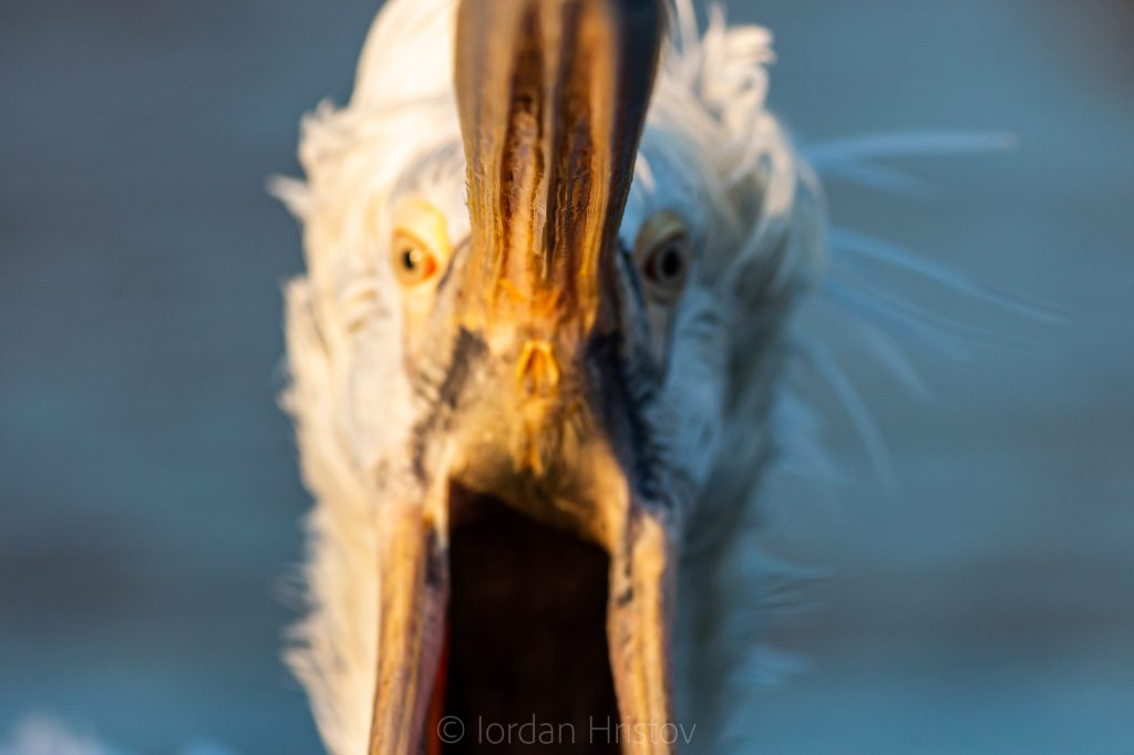 guided trip for dalmatian pelican photography