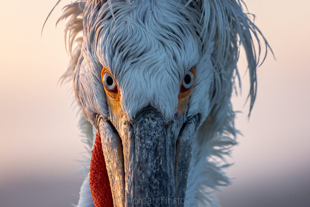 Dalmatian Pelicans portrait (0272) © Iordan Hristov