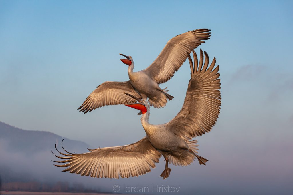 Dalmatian Pelicans in flight (0289) © Iordan Hristov