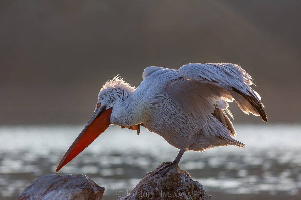 preening Dalmatian Pelican in back light (0555) © Iordan Hristov