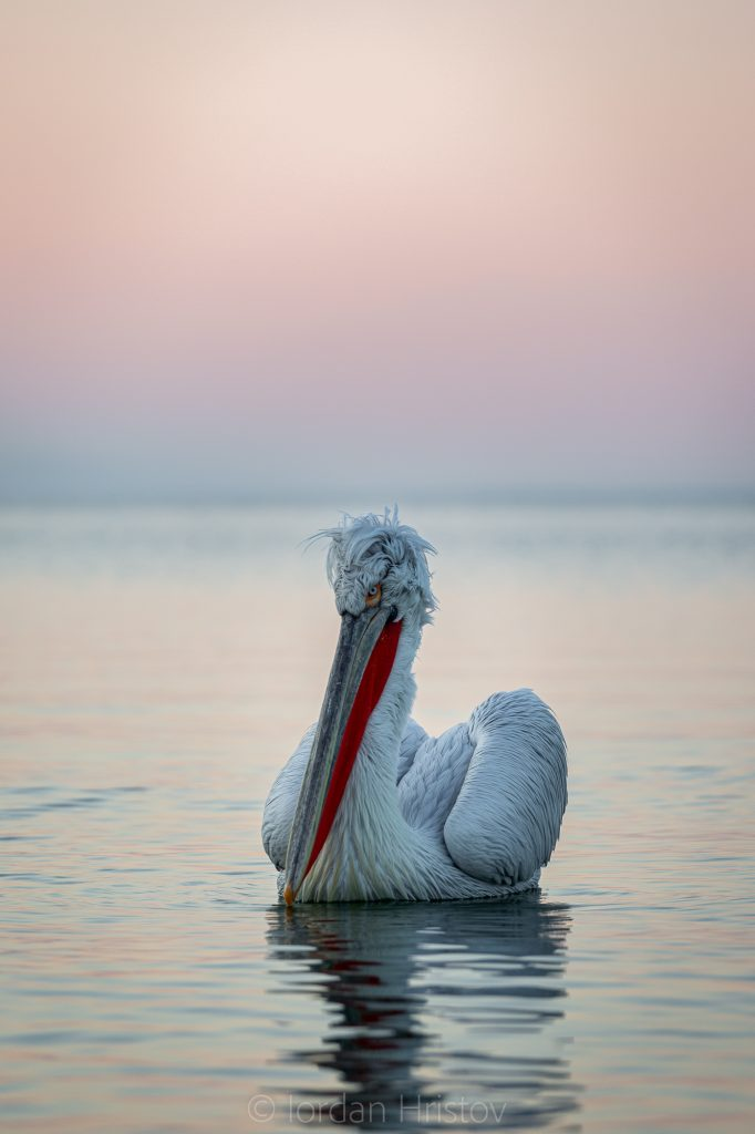 portrait of Dalmatian Pelican in the blue hour (0838) © Iordan Hristov