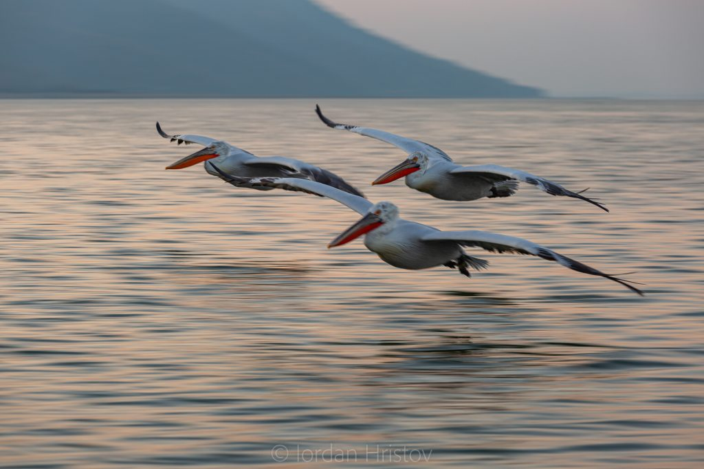 panning shot of Dalmatian Pelicans in the blue hour (1139) © Iordan Hristov