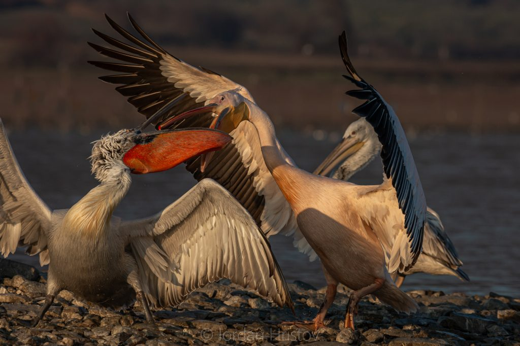 White and Dalmatian pelicans in dispute over a fish (9297) © Iordan Hristov