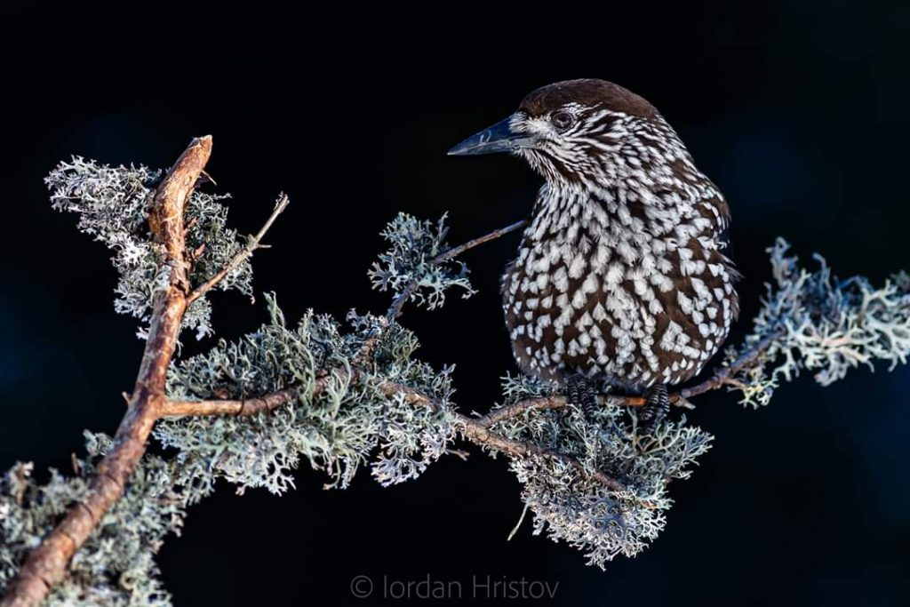 Spotted Nutcracker photography