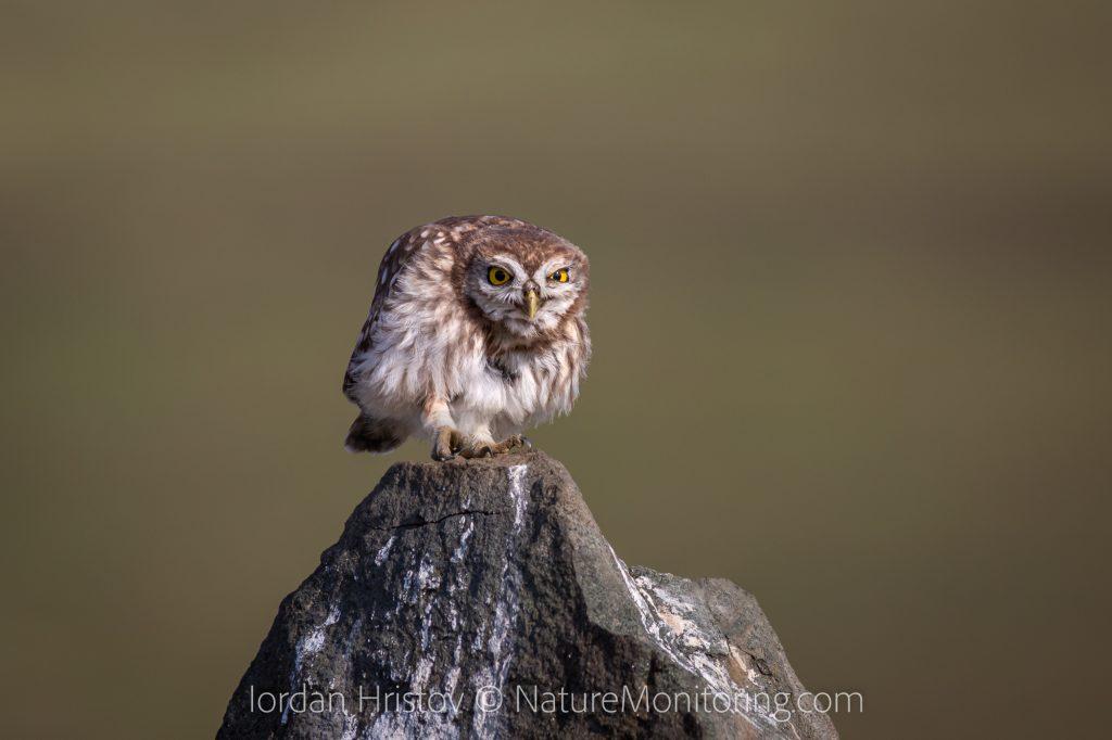 best little owl images