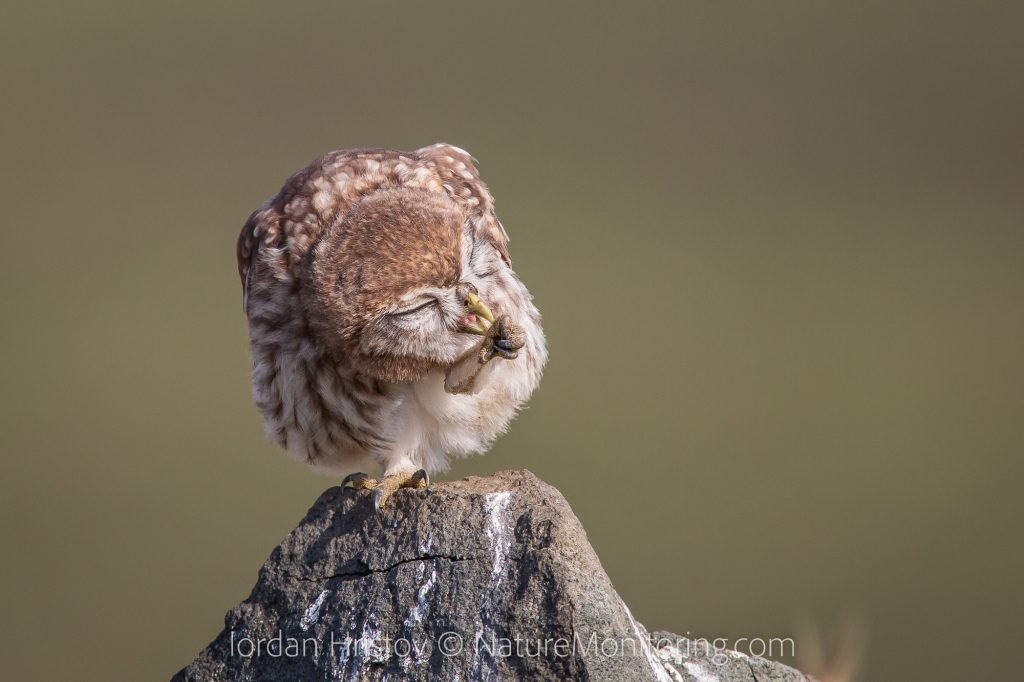 Little Owl photography in Bulgaria