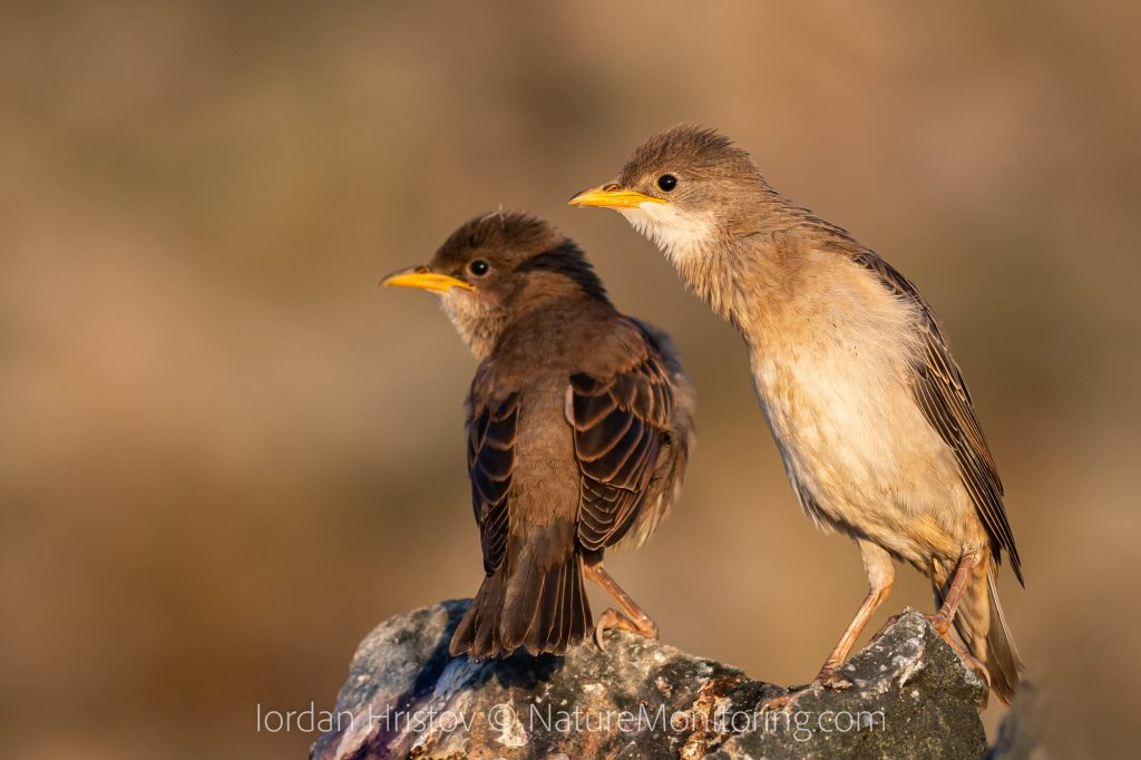 best rose-colored starling images
