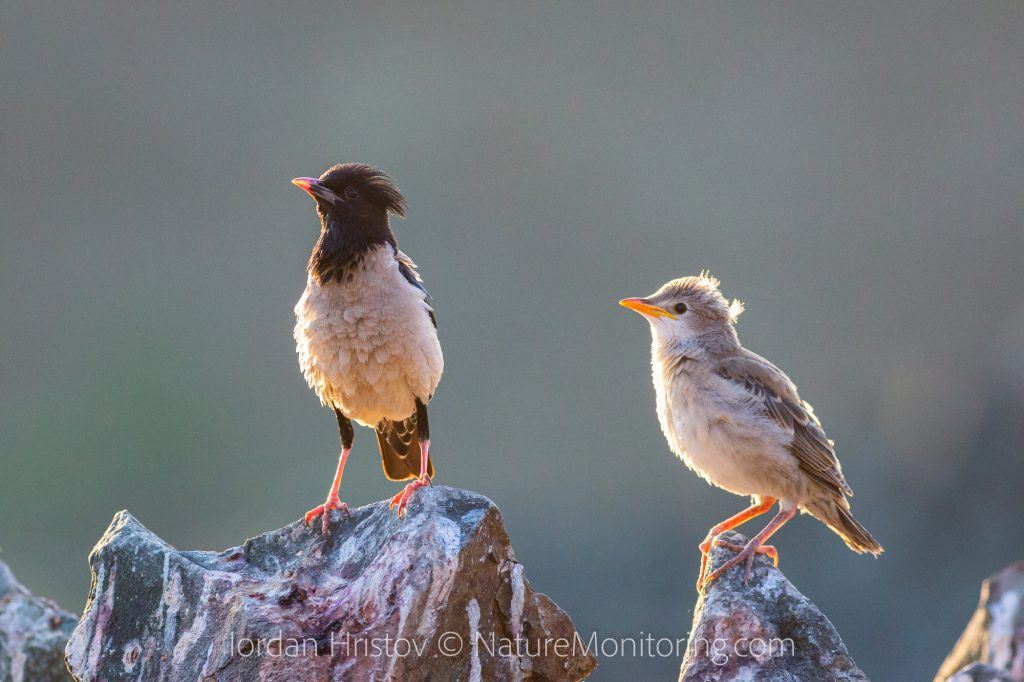 rosy starling photos