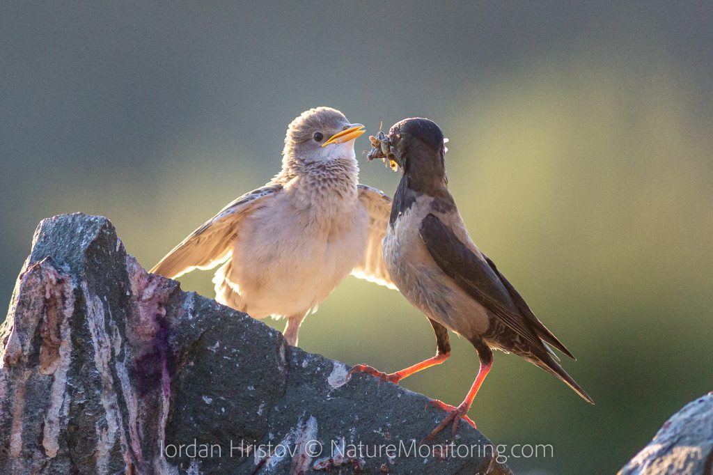best rose-coloured starling photos