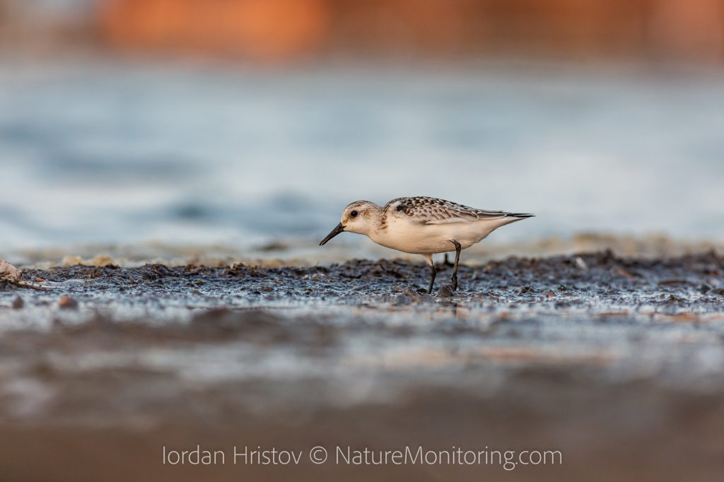 Sanderling photography