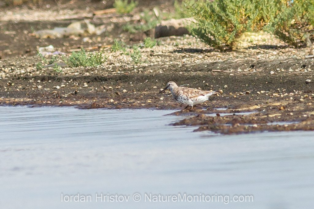 images of great knot in bulgaria