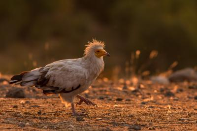 Egyptian Vulture Nature-Monitoring Iordan Hristov-5606