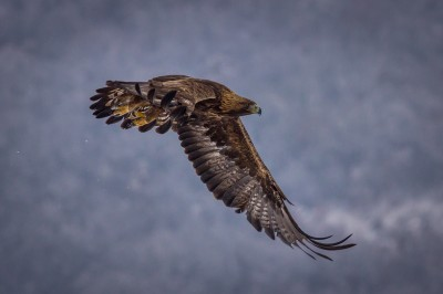 Golden-Eagle-Iordan-Hristov 0883-web